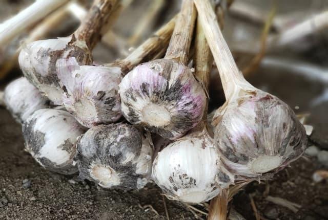 にんにくの栽培は連作できる?ぶら下げるだけで保存も簡単
