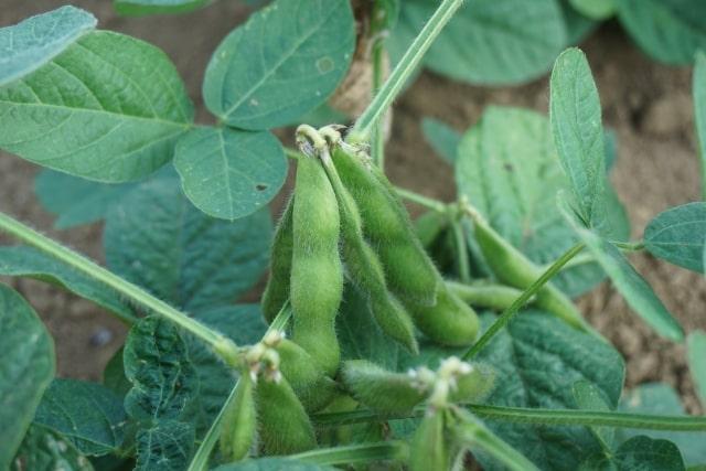 枝豆の栽培は時期を選べば失敗なし!連作もできて簡単おすすめ!