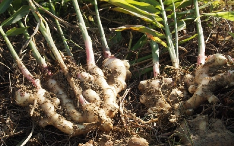自然農のしょうが栽培