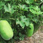 自然農のトウガン栽培