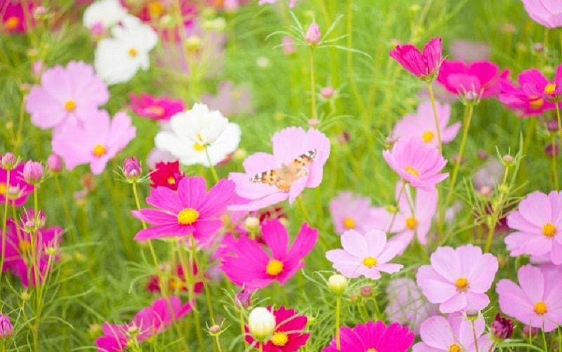 自然農のコスモス栽培