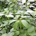 自然農のモロヘイヤ栽培