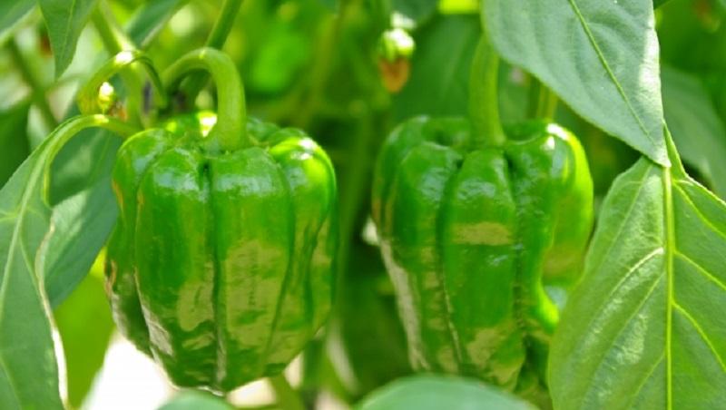 自然農のピーマン栽培